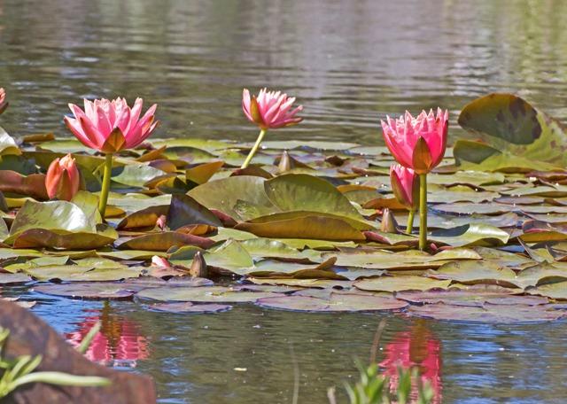 lotus-flowers_zJlKWvtO